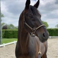 Trakehner Stallion for sale. Only walking in hands/ under saddle!
