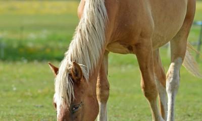 Eesti tõugu hobune Rivaal