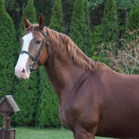 Nice and good looking gelding for dressage