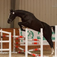 Good cross country prospect from Ulco x Voltaire