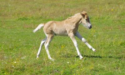 Eesti tõugu hobused