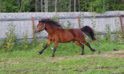 Dartmoor poni
